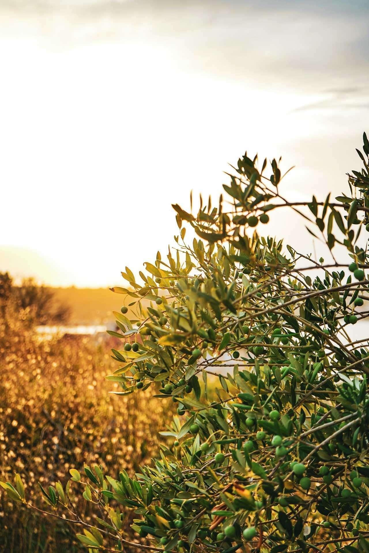 Olivenlund fra Italia der verdens beste olivenolje til pizza