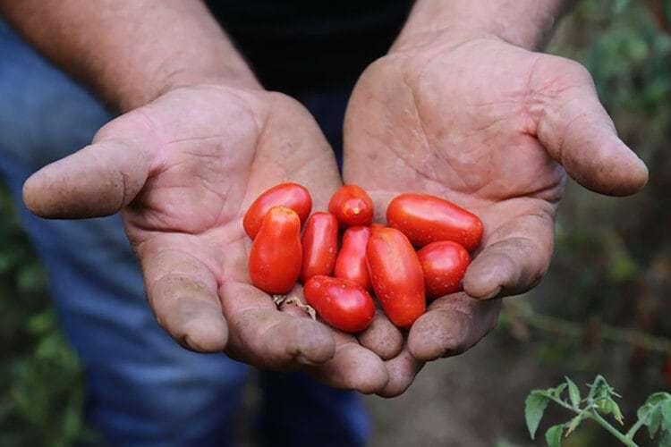 Verdens beste tomater til pizzatopping